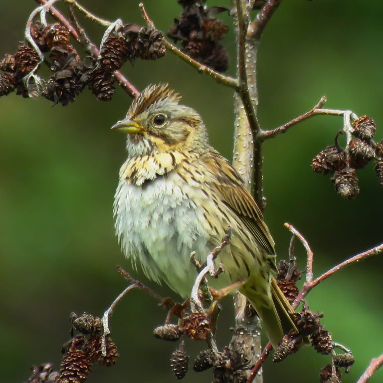 lincoln's-sparrow
